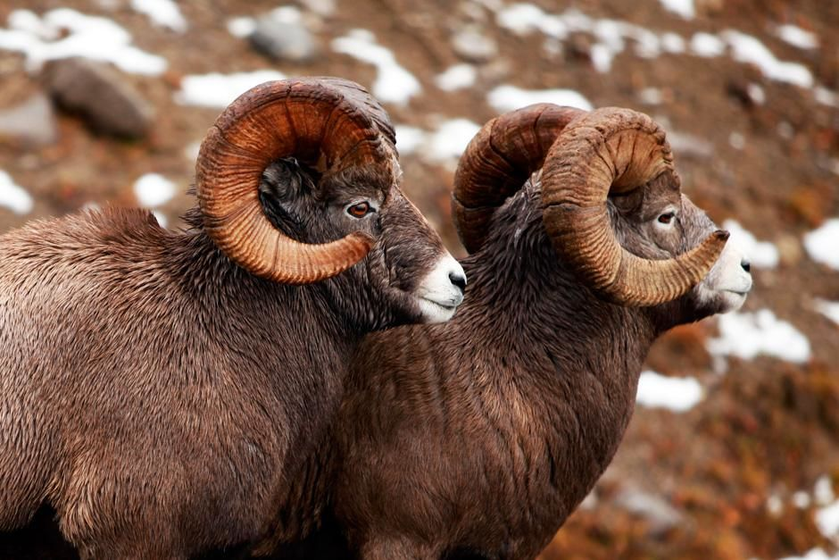 Mouflons canadiens, Parc national de Jasper, Alberta. Cette photo est tirée de l'émission « ... [Photo of the day - août 2012]