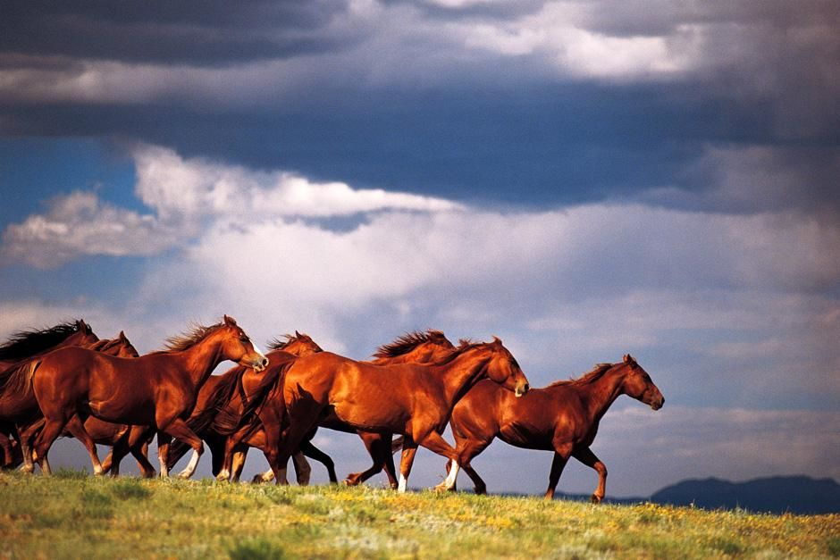 Mustangs sauvages dans le dsert de lUtah. Cette photo est tire de lmission  Wild Am... [La photo du jour - aot 2012]