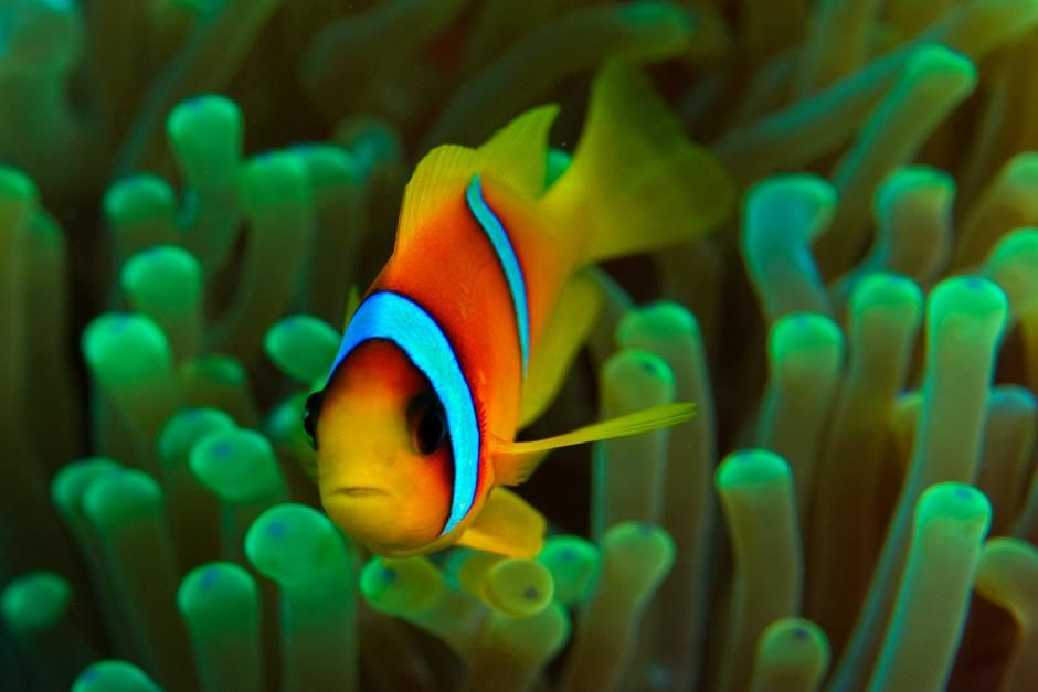Rdečemorska klovnska ribica (Amphiprion bicinctus) v svoji gostiteljici morski vetrnici. Prizor ... [Photo of the day - avgust 2012]