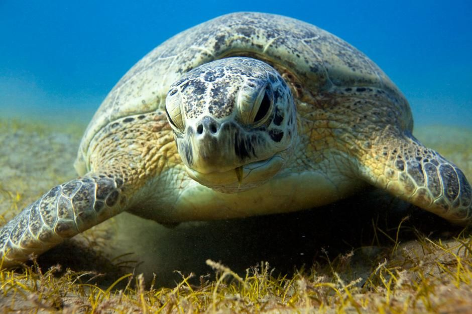 A Green Sea Turtle rests on the bottom feeding on seagrass. This image is from Desert Seas. [Dagens foto - augusti 2012]