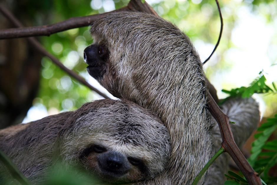 Three-toed sloth with baby. This image is from Into Amazonia's Giant Jaws. [Photo of the day - augusti 2012]