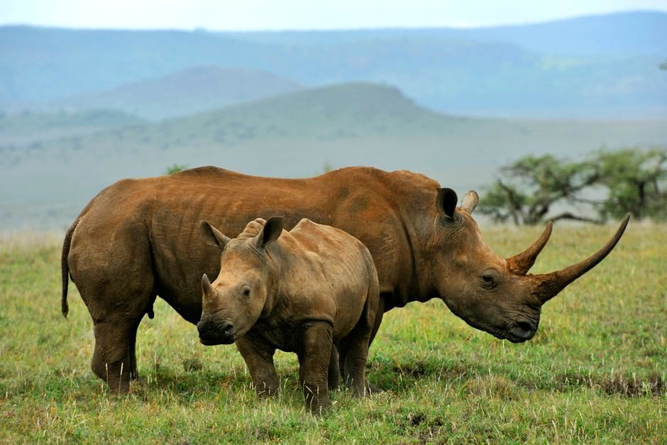 A juvenile Rhinoceros stands infront of an adult Rhino while out in the grasslands. This image is... [Dagens billede - august 2012]