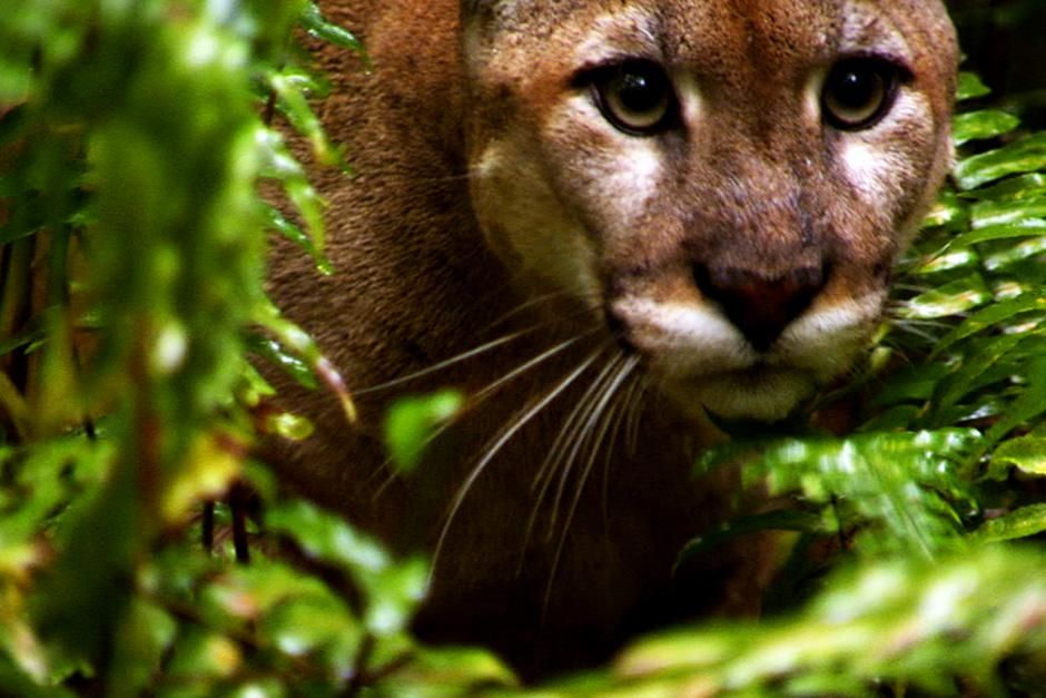 Big Cypress, FL, USA: A Florida Panther is seen up close in the swamp. This image is from Swamp Men. [Dagens billede - august 2012]