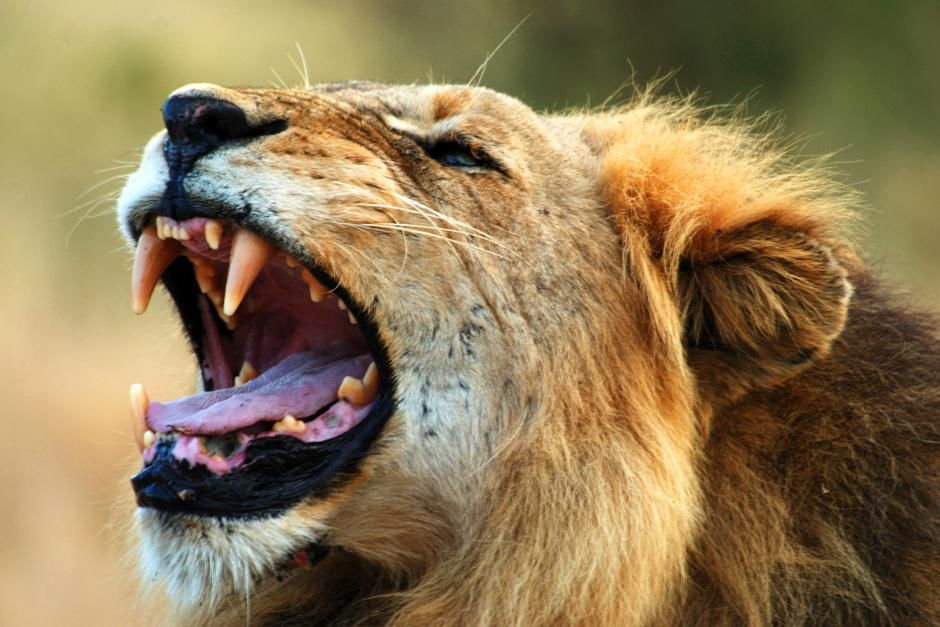 Lion in the ark yawning. Singita Kruger National Park is situated where two rivers meet, in an ex... [Photo of the day - August, 2012]