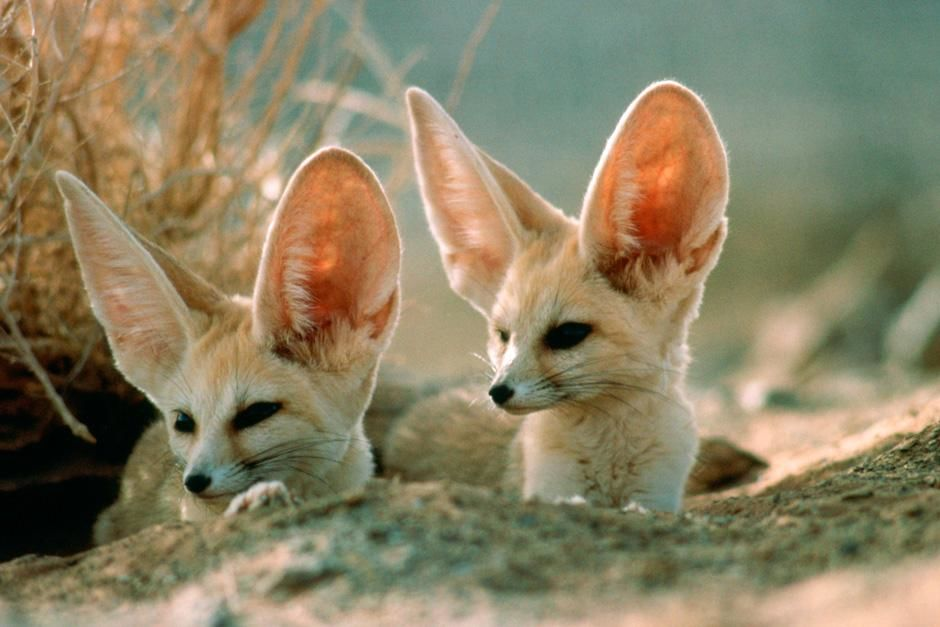 Two Fennec foxes, the smallest of the world's wild dogs, scan surroundings for safety near their ... [Dagens foto - augusti 2012]