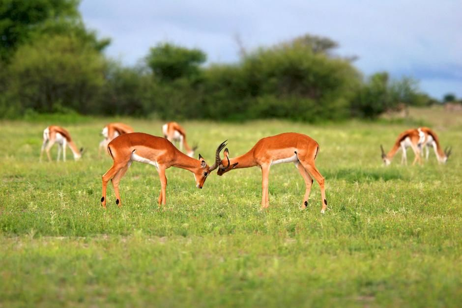 Antelope fight. Nxai Pans national park. Botswana. Africa. This image is from Savannah. [Dagens billede - august 2012]