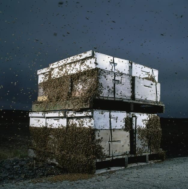 Bees cluster on two pallets of hives, stacked and strapped for moving by a migratory beekeeper, a... [Fotografija dneva - september 2011]