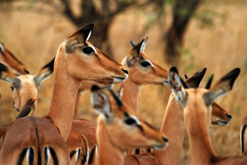 Heard of Impala looking into distance.  Singita Kruger National Park is situated where two... [Photo of the day - August 2012]
