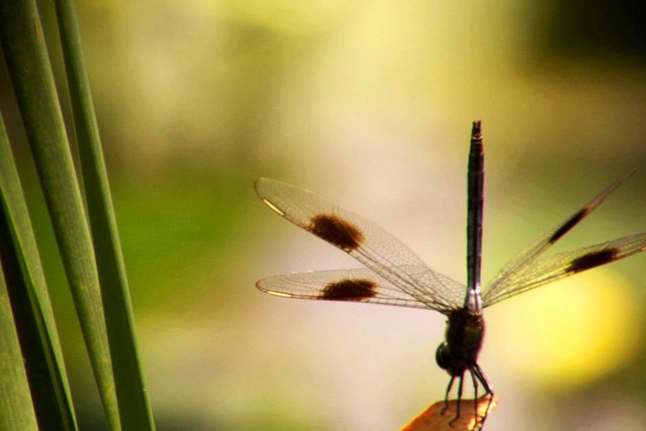 Dragonflies are valuable predators that eat mosquitoes, and other small insects like flies, bees,... [Photo of the day - August, 2012]