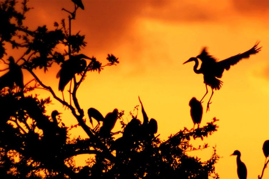 Several birds are silhouetted on the top of a tree against the orange sky. This image is from Swa... [Dagens billede - august 2012]