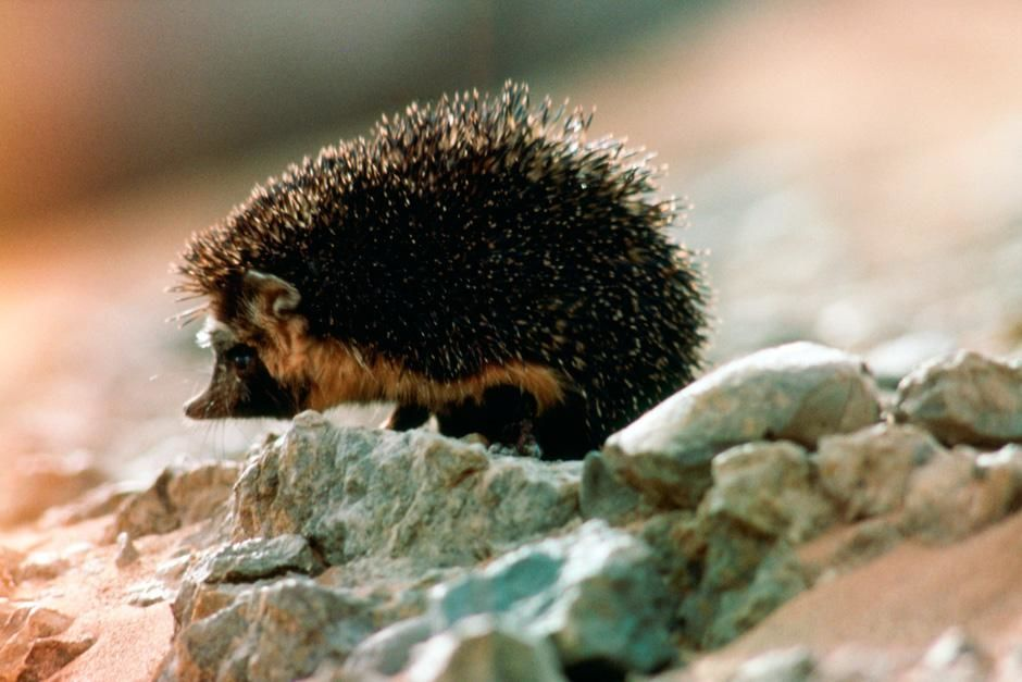 The desert hedgehog hunts insect prey in Saharan wadi. This image is from Sahara. [Dagens billede - august 2012]