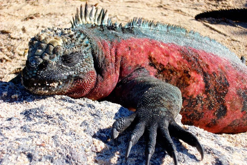A marine iguana travels on the beach in Galapagos Islands, Ecuador. This image is from Darwin's L... [Foto do dia - Setembro 2012]