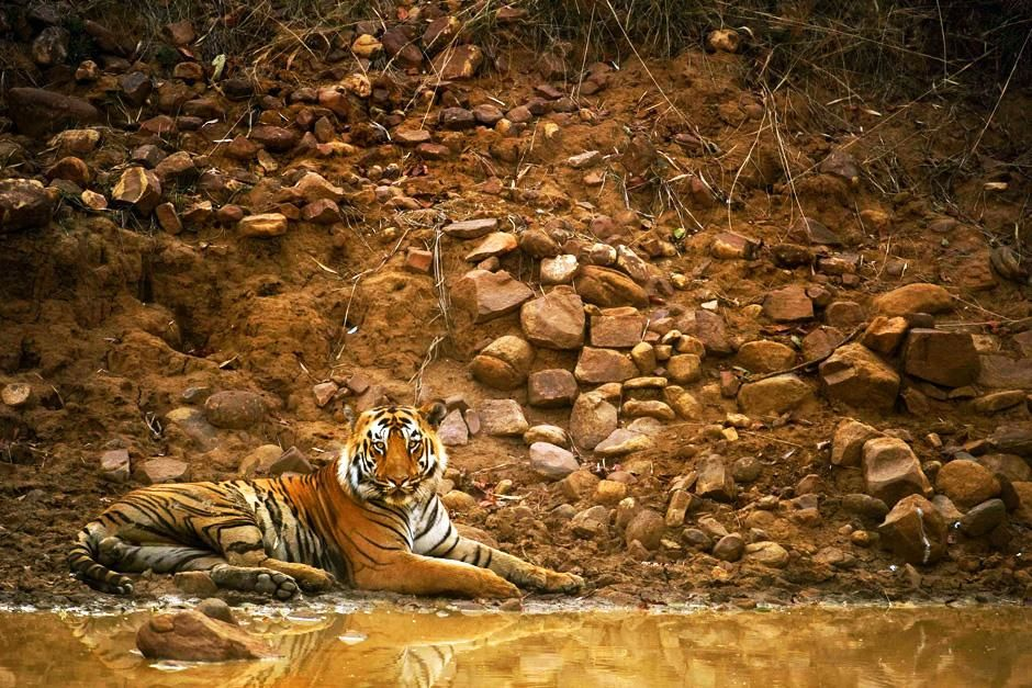 Tadoba National Park, Maharashtra, India: een tijger liggend bij een modderige poel met zijn refl... [Photo of the day - september 2012]