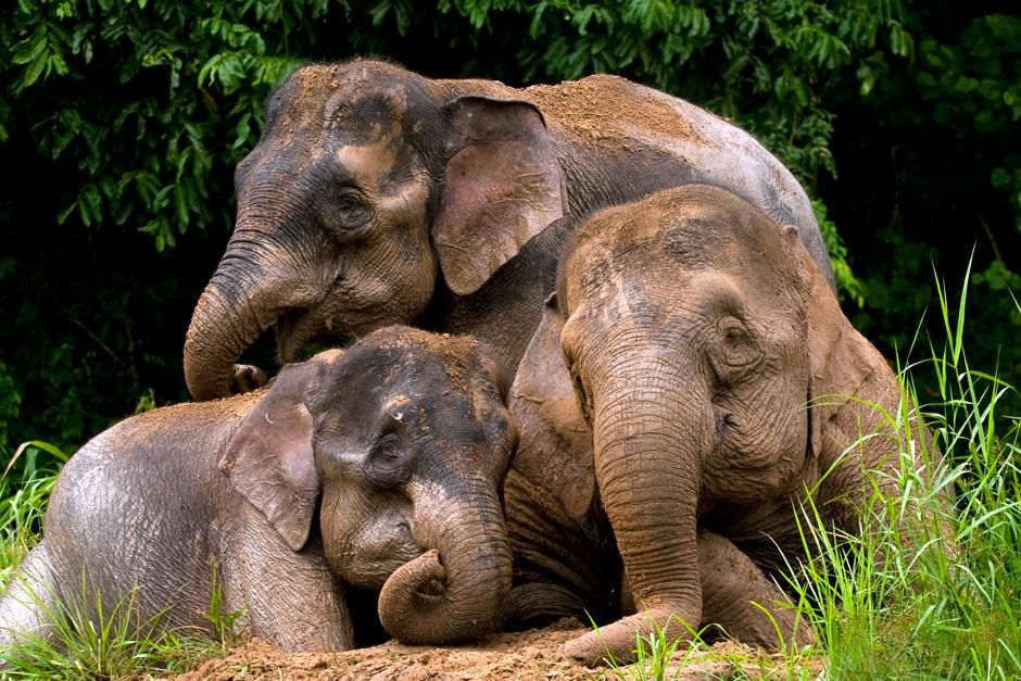Three Borneo pygmy elephants hanging out after a swim. This image is from Finas Fund. [Foto do dia - Setembro 2012]