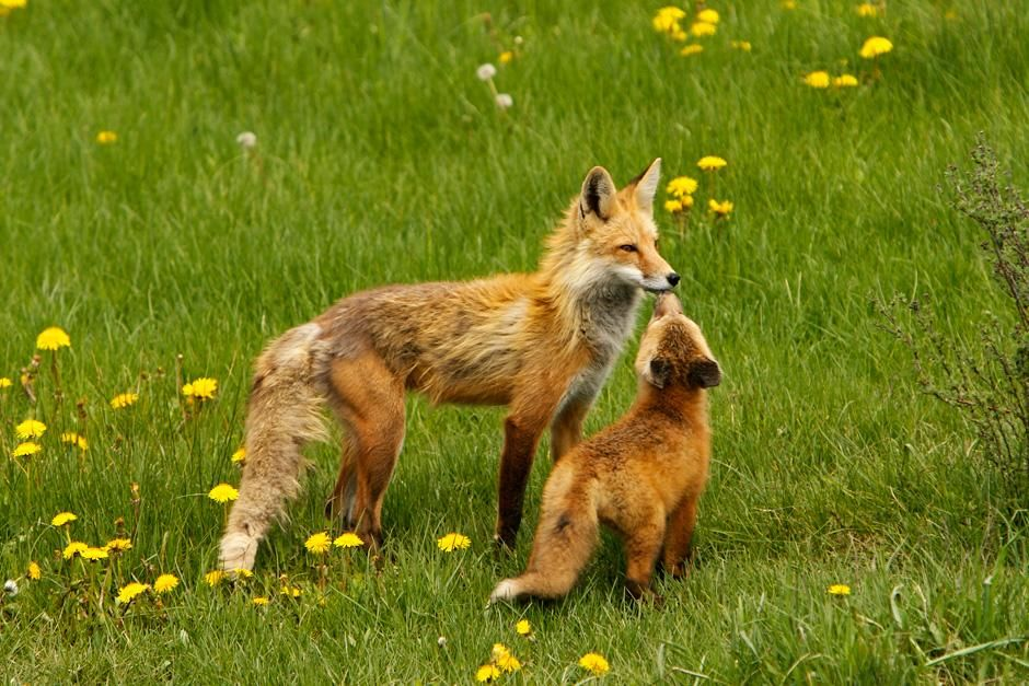 Grand Teton National Park, Wyoming:  A Mother fox and baby rest in the field. This image is from... [Photo of the day - September, 2012]