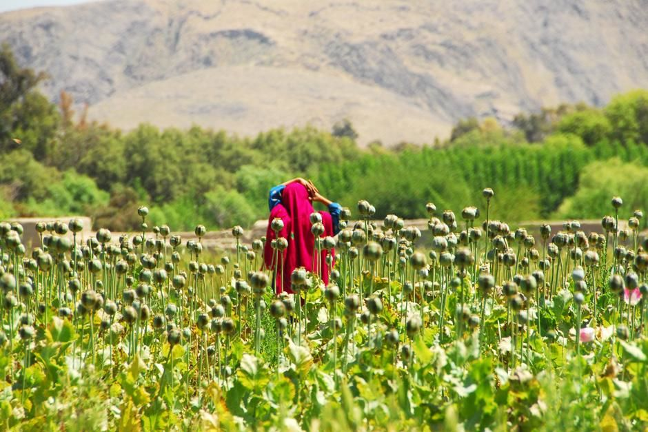 A young woman walks through one of Afghanistan's numerous illegal poppy fields. This image is fro... [Dagens foto - september 2012]