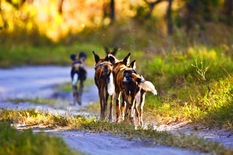 Zimbabwe: Pack of dogs walking away from camera along path. This image is from A Dog's Life. [Dagens billede - september 2012]