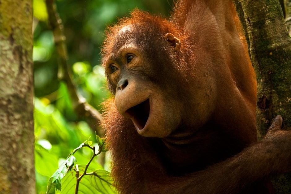 Adolescent orangutan calling at platform four. This image is from Finas Fund. [Foto do dia - Setembro 2012]