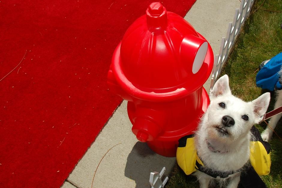 Dog next to a  fire hydrant along the red carpet. This image is from National Geographic Channel'... [Dagens foto - september 2012]