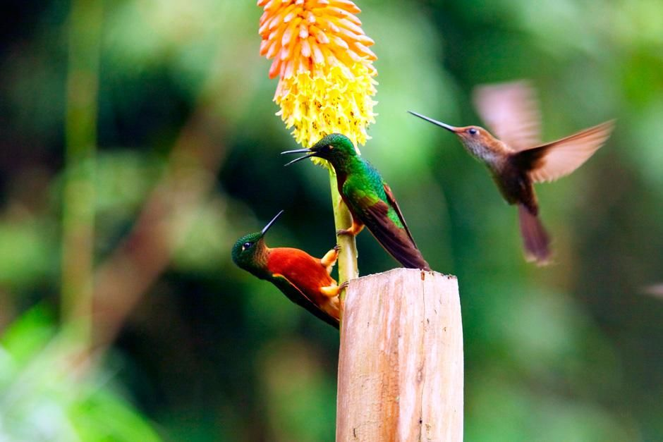 Matthews hoornkolibrie. Deze foto komt uit Hummingbirds: Magic In The Air. [FOTO VAN DE DAG - september 2012]