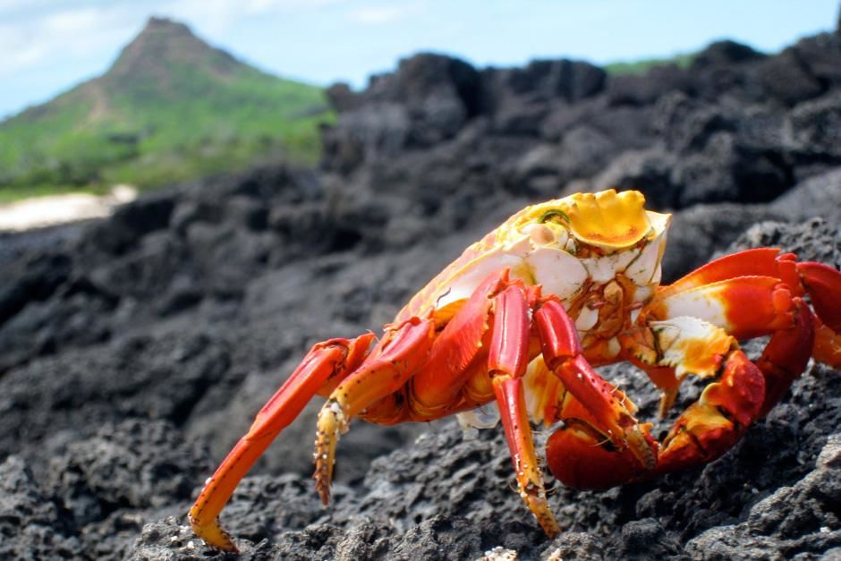 A salty light-foot crab travels on cooled lava flow in the Galapagos Islands, Ecuador.  This... [Photo of the day - September, 2012]