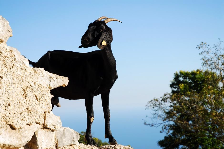 Goats on Italy's cliffside. This image is from David Rocco's Amalfi Getaway. [Dagens billede - september 2012]