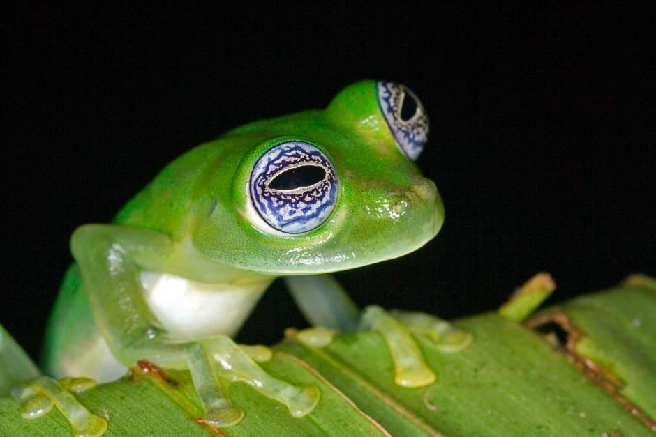Frogs&#039; eyes come in a mind-boggling array of colors and designs. Bulging eyes allow a frog to see... [Photo of the day - September, 2012]
