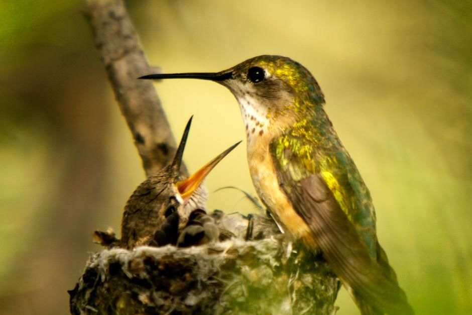 Grand Teton National Park, Wyoming:  A Hummingbird feeding her baby. This image is from Dam Beavers. [Фото дня - Сентябрь 2012]
