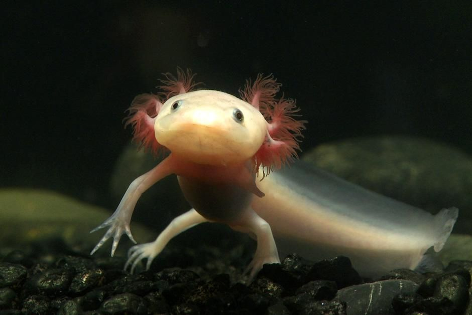 New York, NY: Sally, an axolotl salamander is begininng to form a blastema, a cluster of stem cel... [Фото дня - Сентябрь 2012]