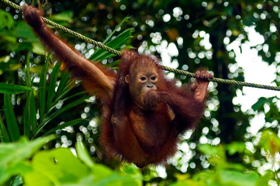 Baby orangutan hanging out on a rope. This image is from Finas Fund. [Dagens foto - oktober 2012]