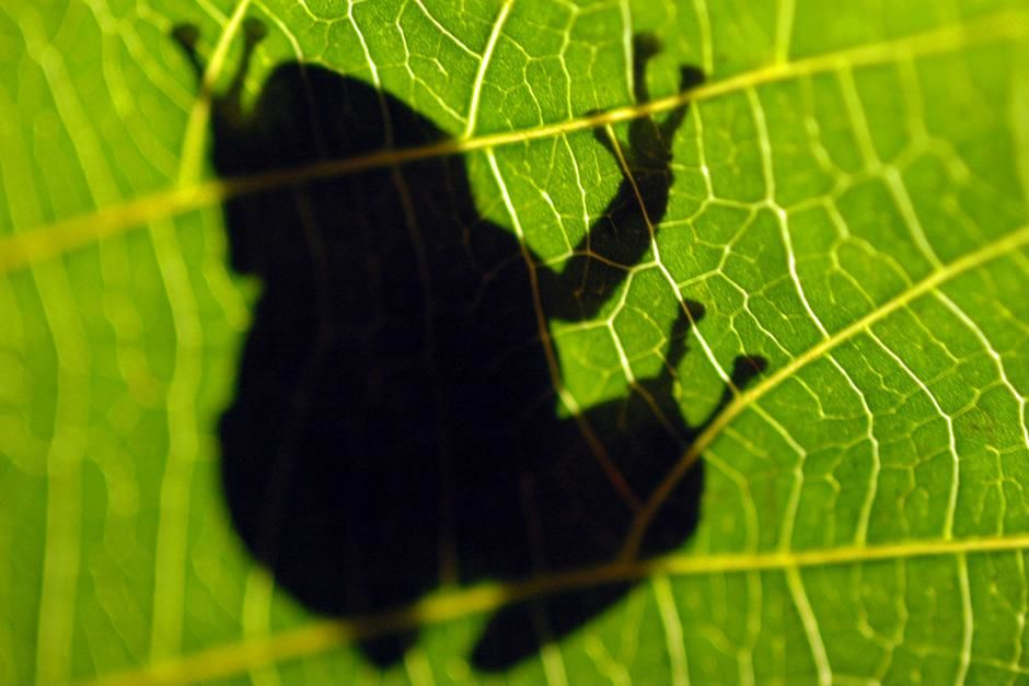 Coqui frog shadow. This image is from Animals Behaving Worse. [Photo of the day - October, 2012]