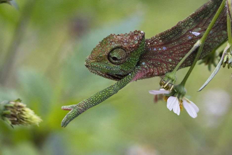 A chameleon reaching for a snack, Moka. Mauritius. [Fotografija dneva - september 2011]