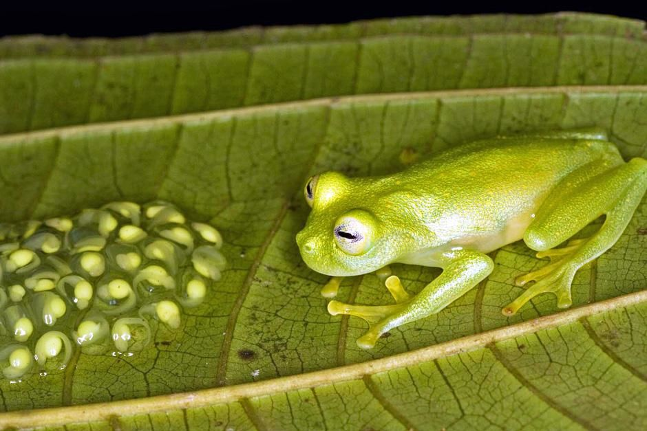 This male frog from Panama protects his young tadpoles until they hatch, fending off predators an... [Фото дня - Октябрь 2012]