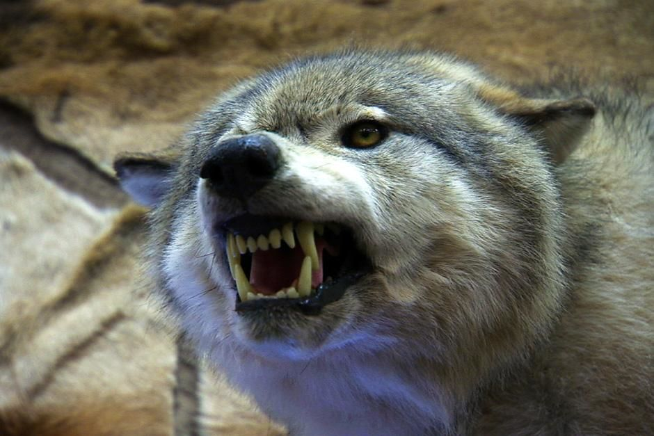Montana: A stuffed wolf with its teeth baring.  This image is from Frontier Force. [Dagens foto - oktober 2012]