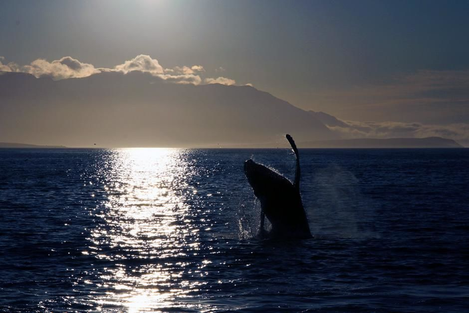 Akureyri, Iceland: A Humpback whale breaching. This image is from Alien Deep. [Dagens foto - oktober 2012]