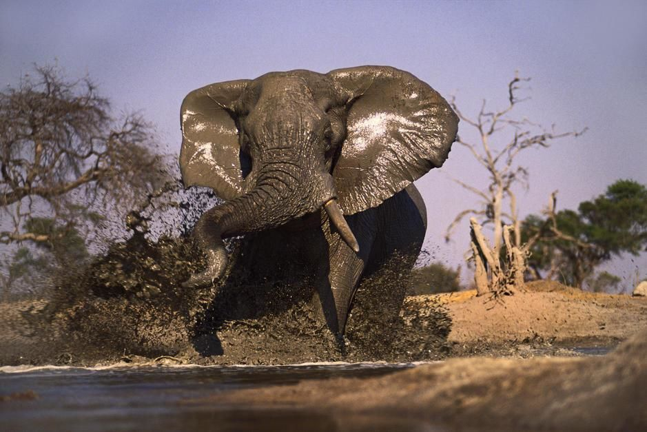 A lone bull elephant feigns a charge the onlooker at a water hole, creating a big splash. Okavang... [Fotografija dneva - september 2011]
