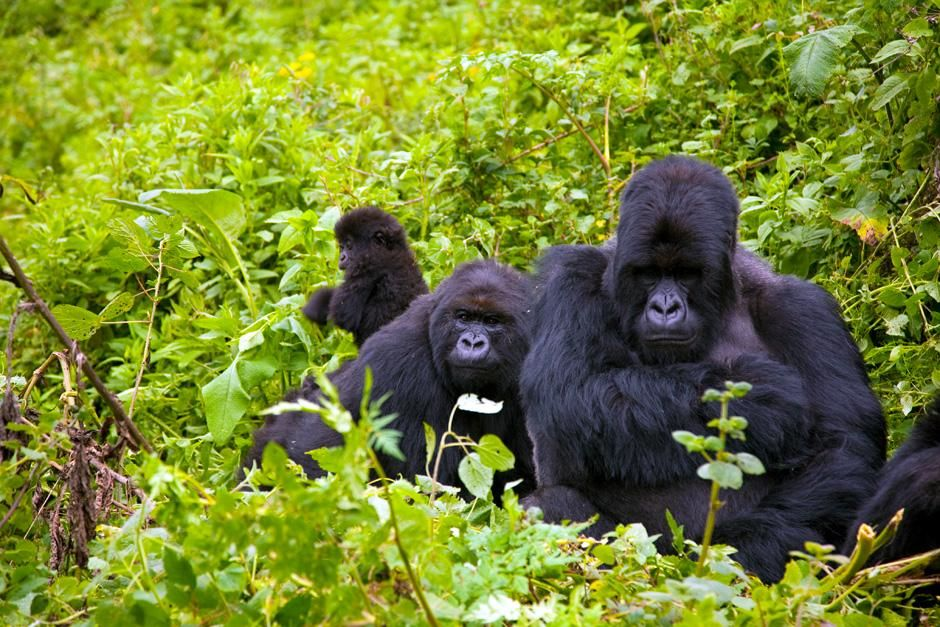 RWANDA: Gorillas roam through the forest on a slightly misty day. This image is from Departures. [Фото дня - Октябрь 2012]