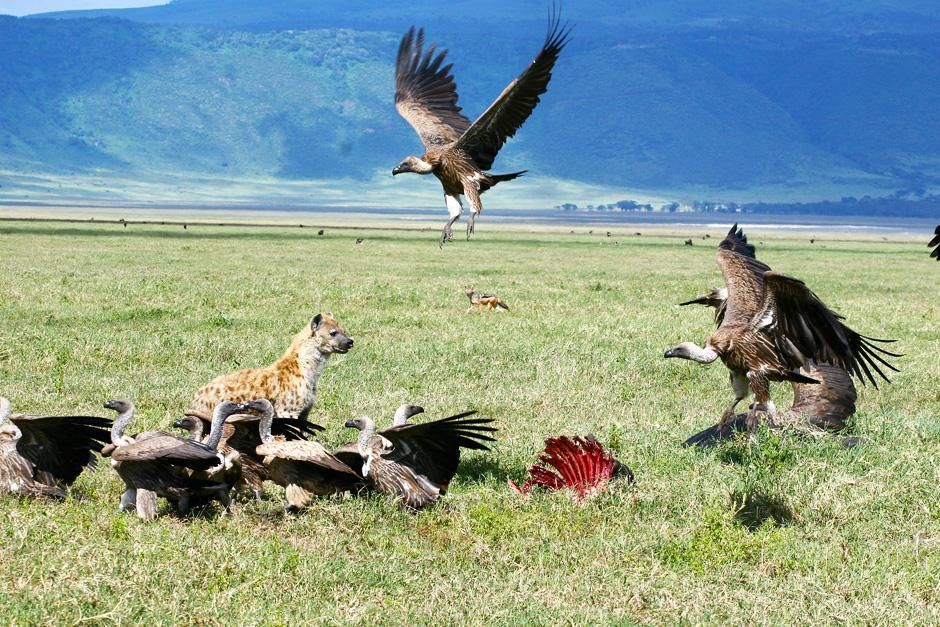 Vultures and hyenas feeding on a carcass. This image is from Planet Carnivore. [Photo of the day - نوامبر 2012]
