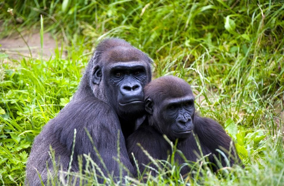 A mother gorilla and her infant sitting in the long grass. Conflicts in weaning between mother... [Photo of the day - نوامبر 2012]