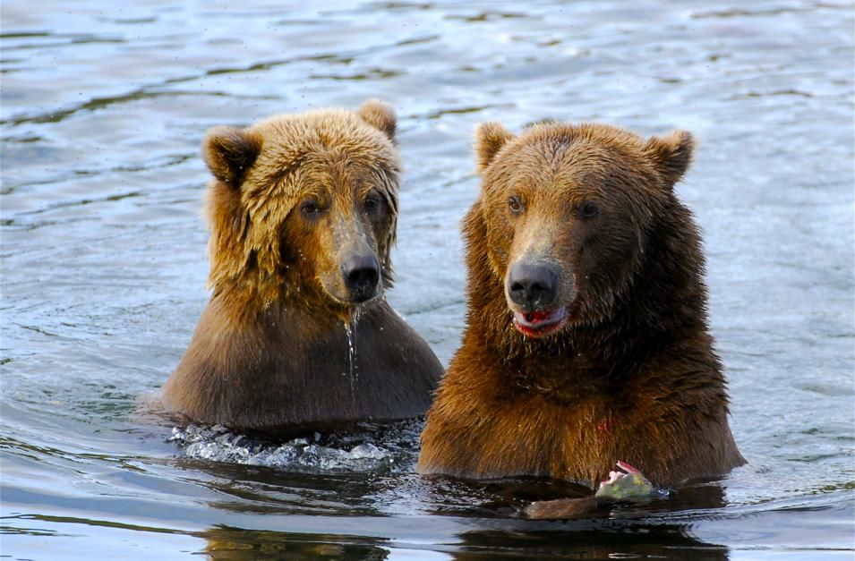 A mother bear with her cub dine side by side in Brooks River, Alaska. This image is from Planet C... [ΦΩΤΟΓΡΑΦΙΑ ΤΗΣ ΗΜΕΡΑΣ - ΝΟΕΜΒΡΙΟΥ 2012]
