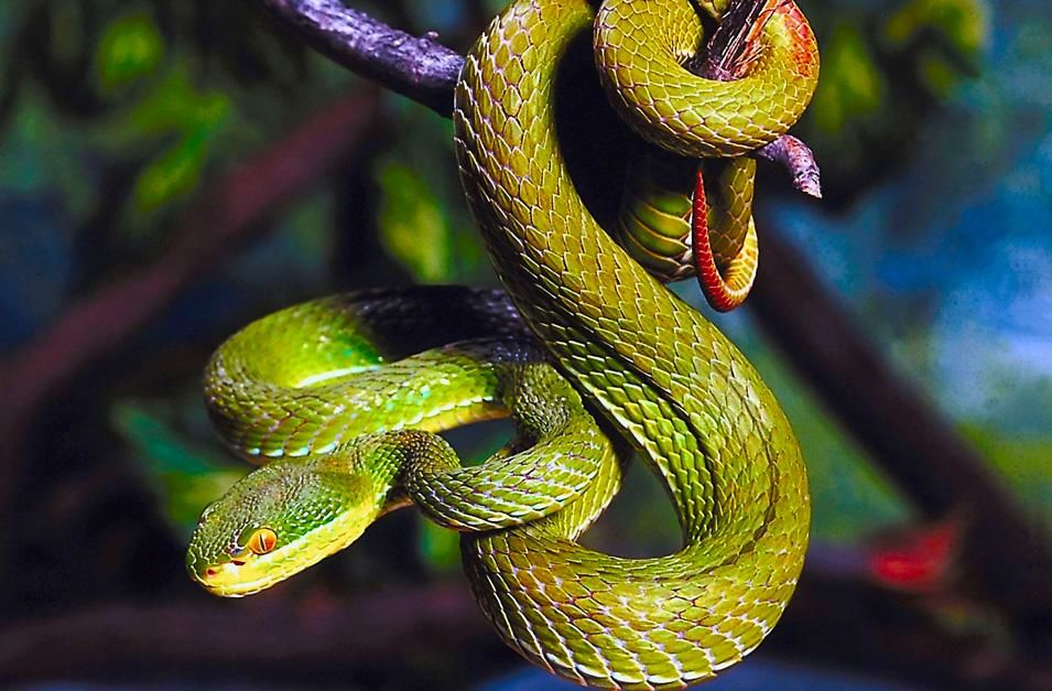 Green pit viper perched in a characteristic S-shape ready to strike. This image is from  World's... [Photo of the day - نوامبر 2012]