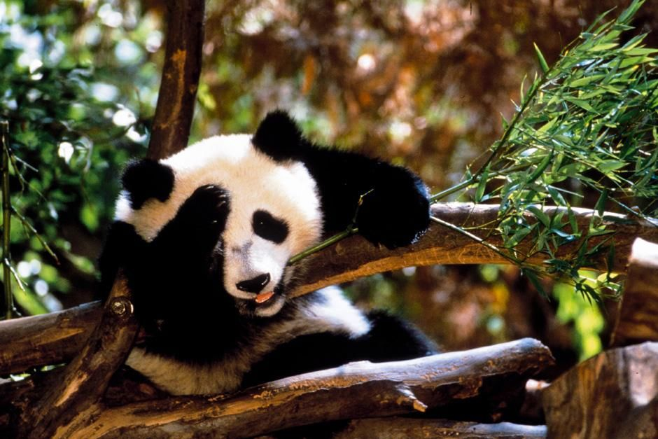 Hua Mei - Giant Panda Cub. This image is from  Panda Baby. [Photo of the day - نوفمبر 2012]