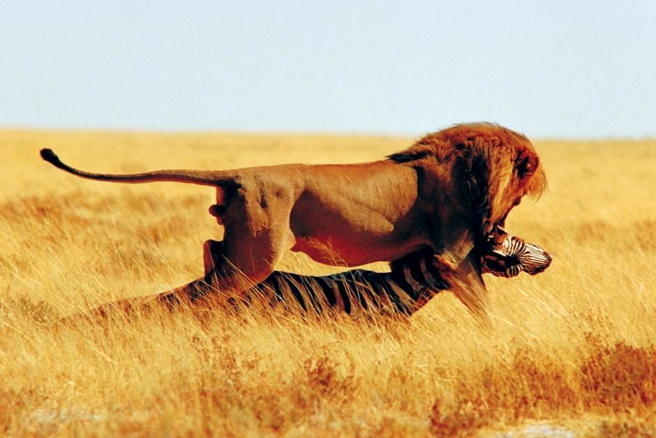 A lion attacks a zebra. This image is from Planet Carnivore. [Photo of the day - نوامبر 2012]