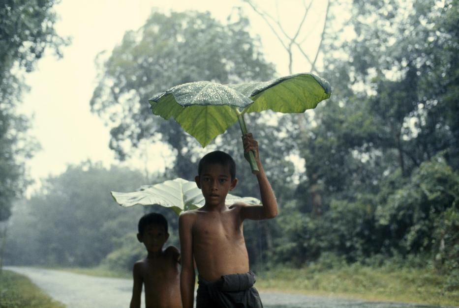 Boys use giant alocasia leaves to shield themselves from a storm near Betong. Thailand. [Top-Fotos - Oktober 2011]