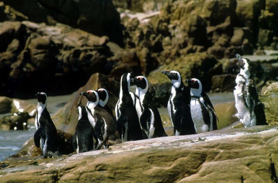 Jackass penguins on the Cape coast, South Africa. This image is from Fit for the Wild. [Photo of the day - نوامبر 2012]