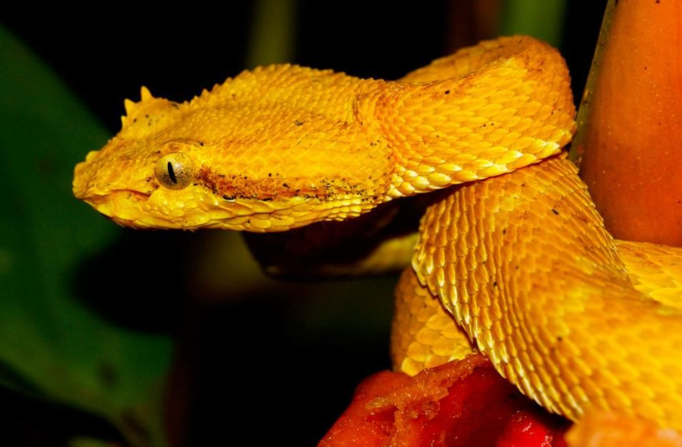 Golden eyelash viper poised to strike. This image is from World's Deadliest Animals. [ΦΩΤΟΓΡΑΦΙΑ ΤΗΣ ΗΜΕΡΑΣ - ΝΟΕΜΒΡΙΟΥ 2012]