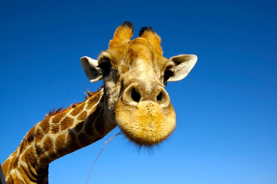 A giraffe looks into the camera at the Singita game reserve in South Africa. This image is from T... [Photo of the day - نوامبر 2012]