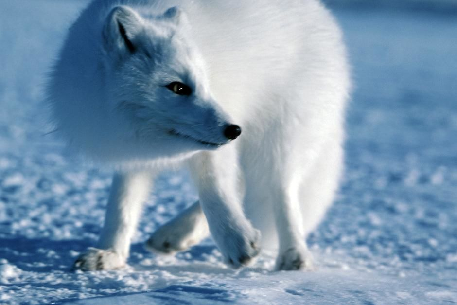 A polar fox in the snow. This image is from Planet Carnivore. [Photo of the day - نوامبر 2012]