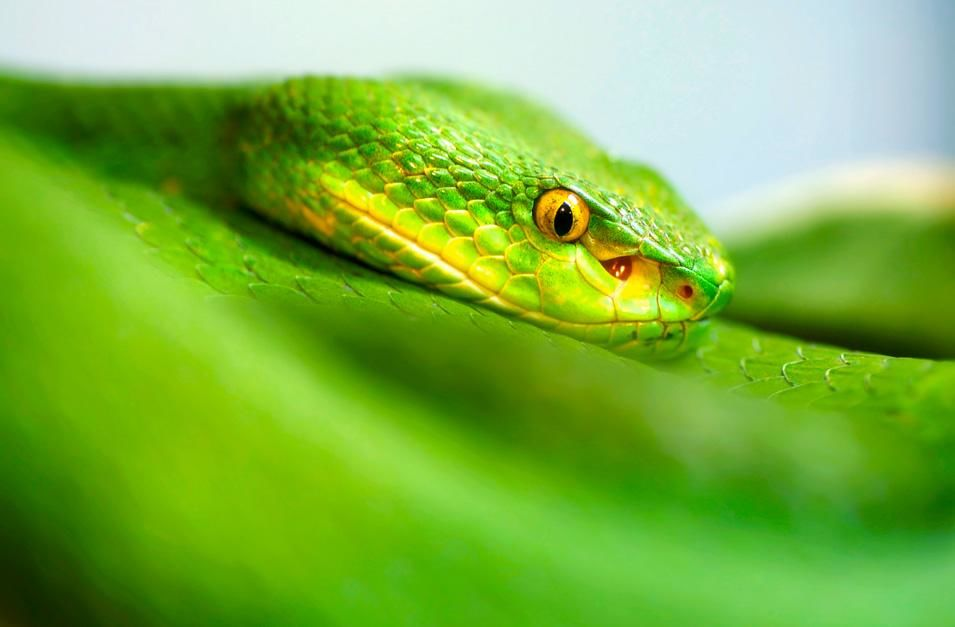 A white lipped green pit viper's face caught in focus around its body. Their forked tongue flicks... [Photo of the day - November 2012]