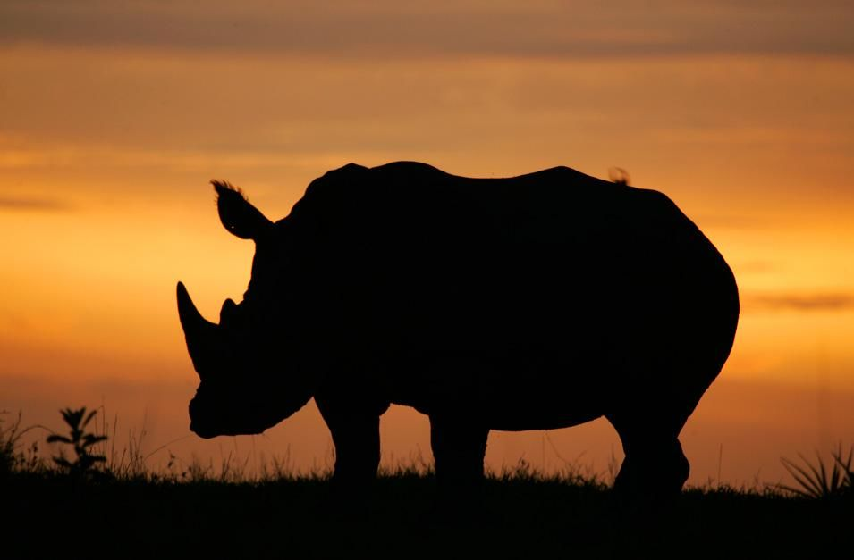 A white rhino's silhouette in the Okavango Delta in Botswana, South Africa at dusk. This image... [Photo of the day - November 2012]